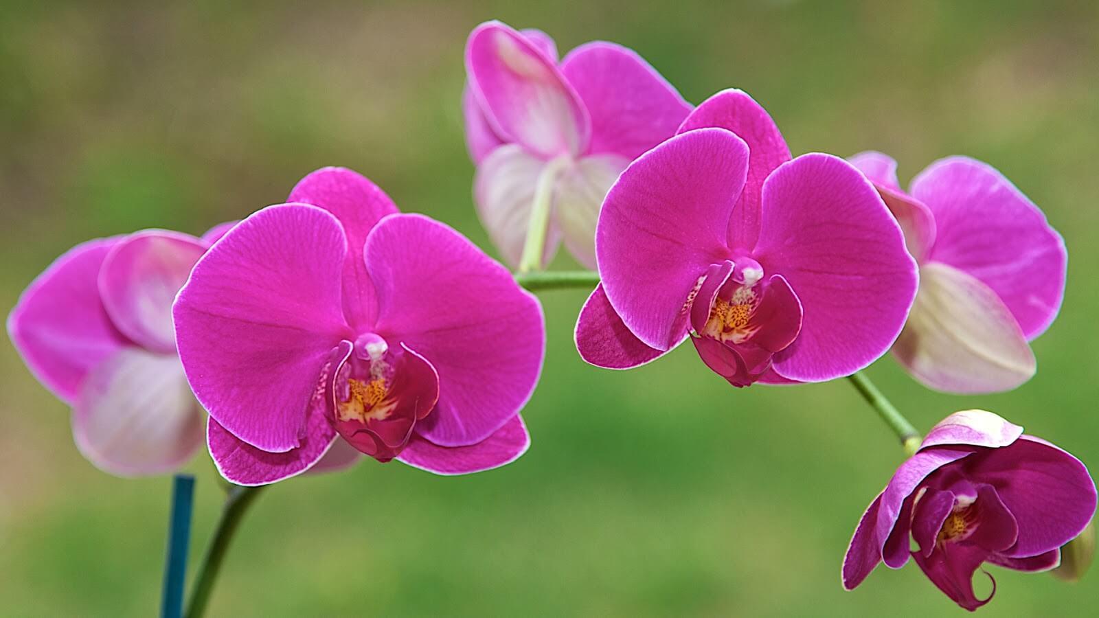 Hoa lan thể hiện sự biết được gửi đến những người cô của mình