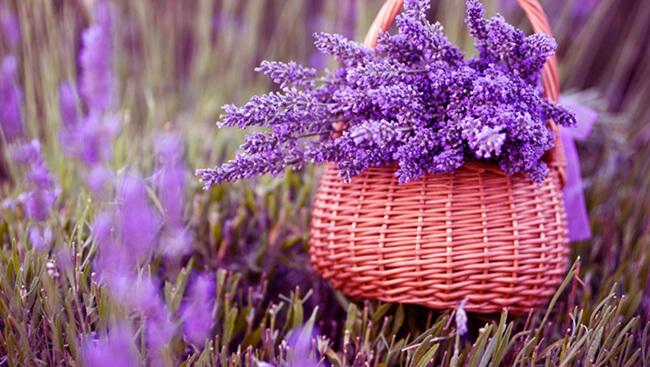 Hoa Lavender - món quà Noel tượng trưng cho sự thủy chung