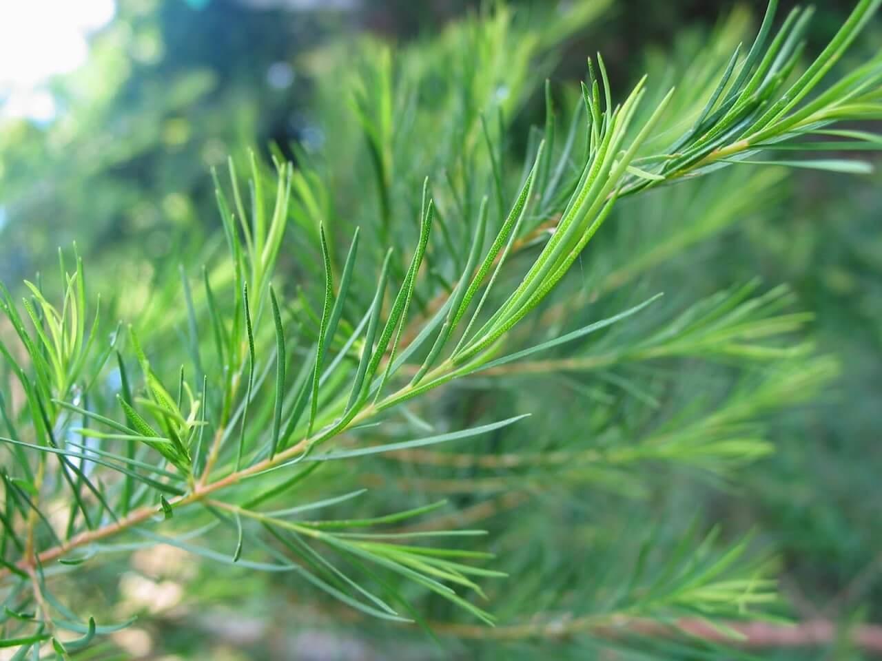 Tinh dầu lá tràm giúp ngăn chặn những yếu tố xuất hiện của mụn đầu đen